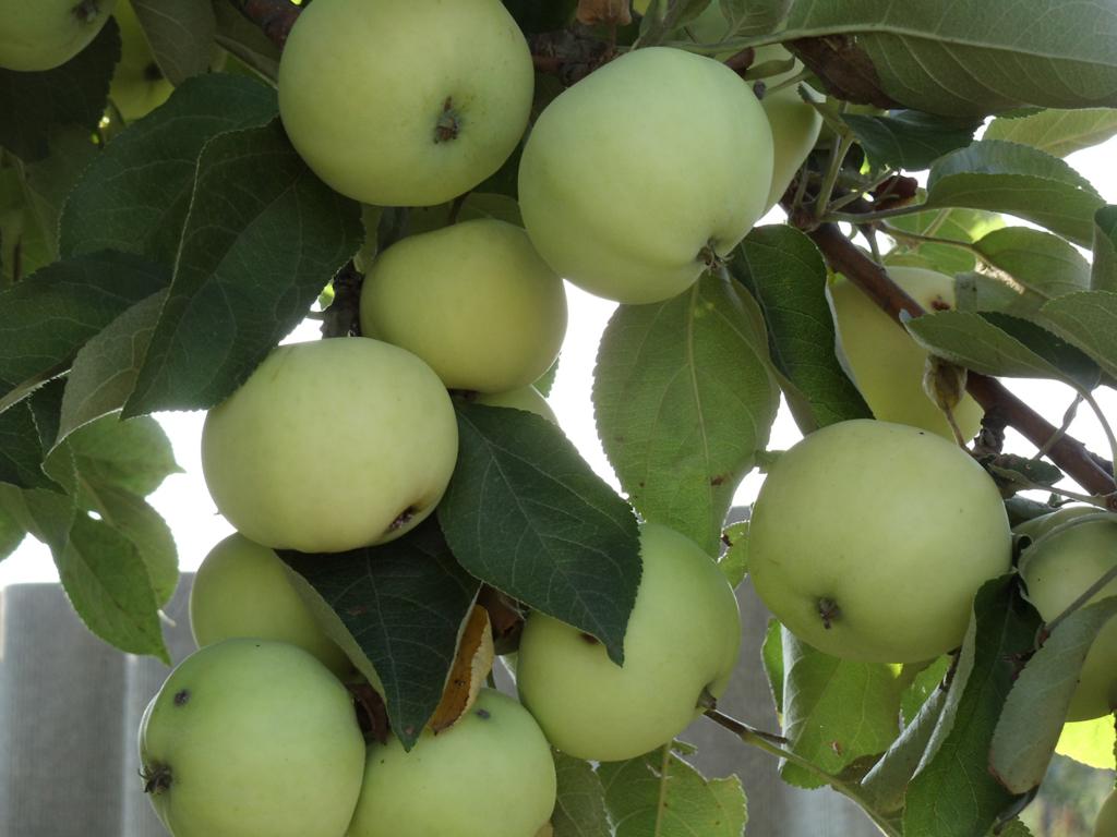 Ароматное яблоко Белый налив: описание и фото сорта, особенности выращивания и другие нюансы