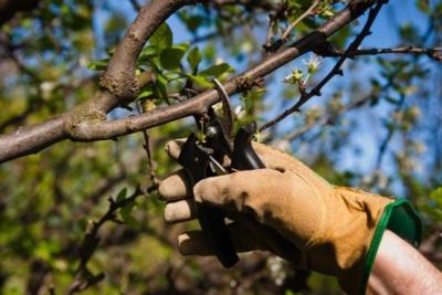 Вкусный сорт яблок «Анис». Описание и фото разных видов: Свердловского, Алого, Полосатого и других