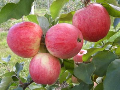 """Основные характеристики и особенности выращивания яблони сорта """"Беркутовское"""""""