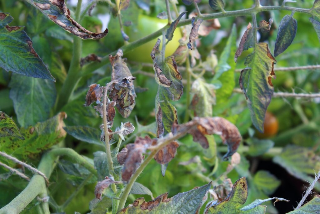 Причины появления, признаки и лечение кладоспориоза томатов в теплице и в открытом грунте. Меры профилактики бурой пятнистости