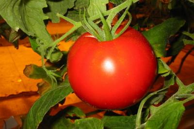 Чем опасен альтернариоз для томатов? Описание его признаков, фото пораженных растений и их лечение