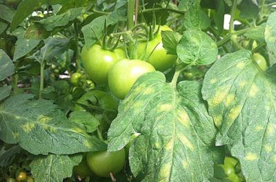 Разновидности курчавости листьев томатов и способы лечения болезни