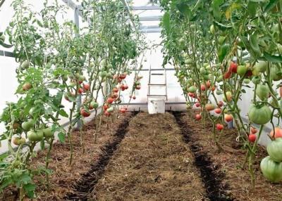Тонкости мульчирования томатов в теплице - когда, как и чем его проводить?