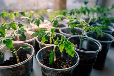 Правильная подкормка томатов нашатырным спиртом - залог здоровья растений и гарантия отличного урожая!