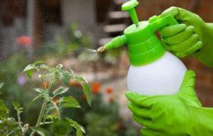 Не повторяйте чужих ошибок: как полить помидоры нашатырным спиртом и не навредить растениям?