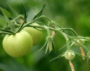 Хотите больше томатов на кустах? Читайте, чем подкормить помидоры для завязи