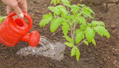 Как, когда и чем подкормить томаты в теплице и в открытом грунте