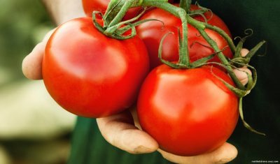Еще не знаете, чем подкормить томаты во время плодоношения? Раскрываем секреты сладких плодов и хороших урожаев!