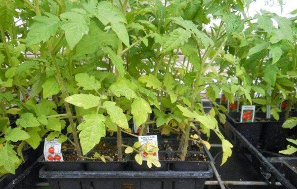 Почему нехватка азота у томатов может оставить вас без урожая? О недостатке и избытке этого элемента, правилах использования
