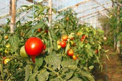 Чем и как правильно подкармливать помидоры во время плодоношения в теплице