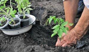 Что положить в лунку при посадке томатов
