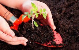 Насколько важен калий для томатов? Секреты правильной подкормки монофосфатом калия и другими удобрениями с ним