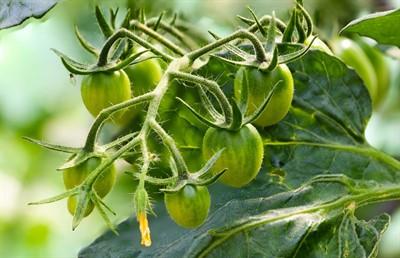 Обработка борной кислотой для завязи помидор. Насколько она эффективна и какой раствор действительно работает