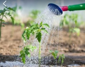 полив помидор перекисью водорода