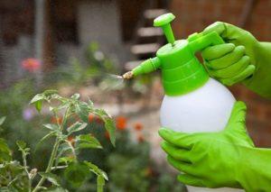 Возможен ли ожог томатов борной кислотой? Как он проявляется и что делать, если вы сожгли растения