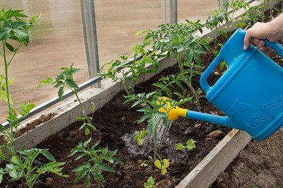 Борная кислота для томатов: как обрабатывать рассаду помидор