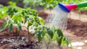 Как применять марганец для помидор - раскрываем секреты. А также учимся замечать и устранять недостаток серы и цинка