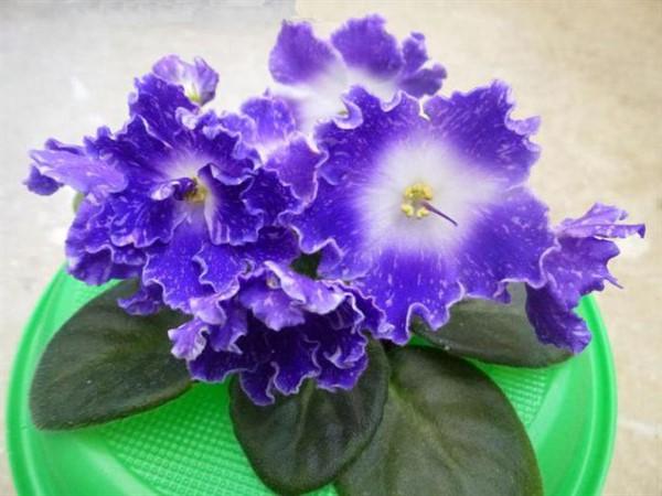 Фиалка DS-Изюм: особенности сорта и выращивание