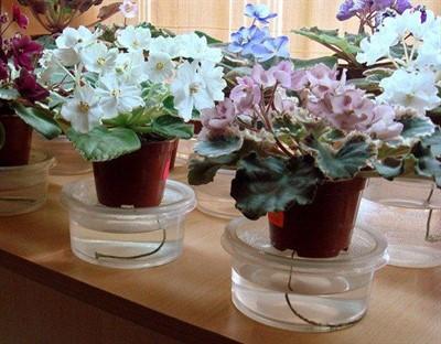 Разбираемся, как выращивать фиалки из листьев. Секреты владельцев сортовых сенполий