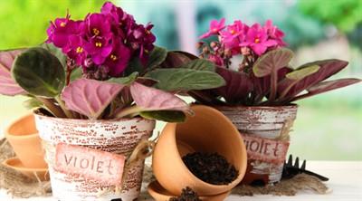 Узнайте, как правильно пересадить фиалку и ваше растение начнет обильно цвести! Пошаговая инструкция по пересадке
