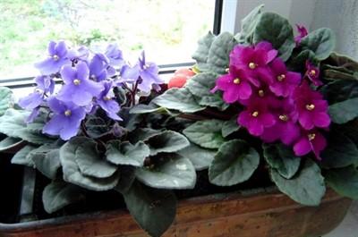 """Узнайте, как поливать фиалки правильно и ваши растения скажут вам """"спасибо""""!"""