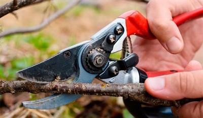 Как вырезать смородину осенью