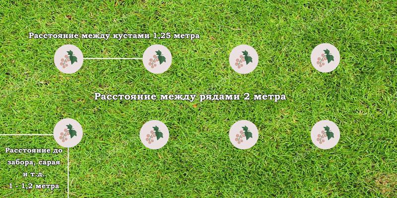 Каким должно быть расстояние между кустами смородины? Схема посадки саженцев