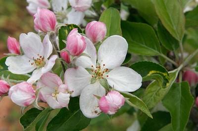 Почти молодильные! Фото плодов и описание яблони Мельба, особенности ухода и выращивания