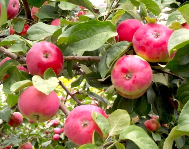 Боровинка сорт яблок описание