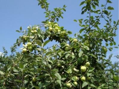 Яблоки Белый налив описание и характеристики сорта полезные свойства