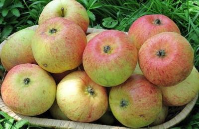 Сладкие плоды яблони сорта Конфетное: описание, особенности выращивания