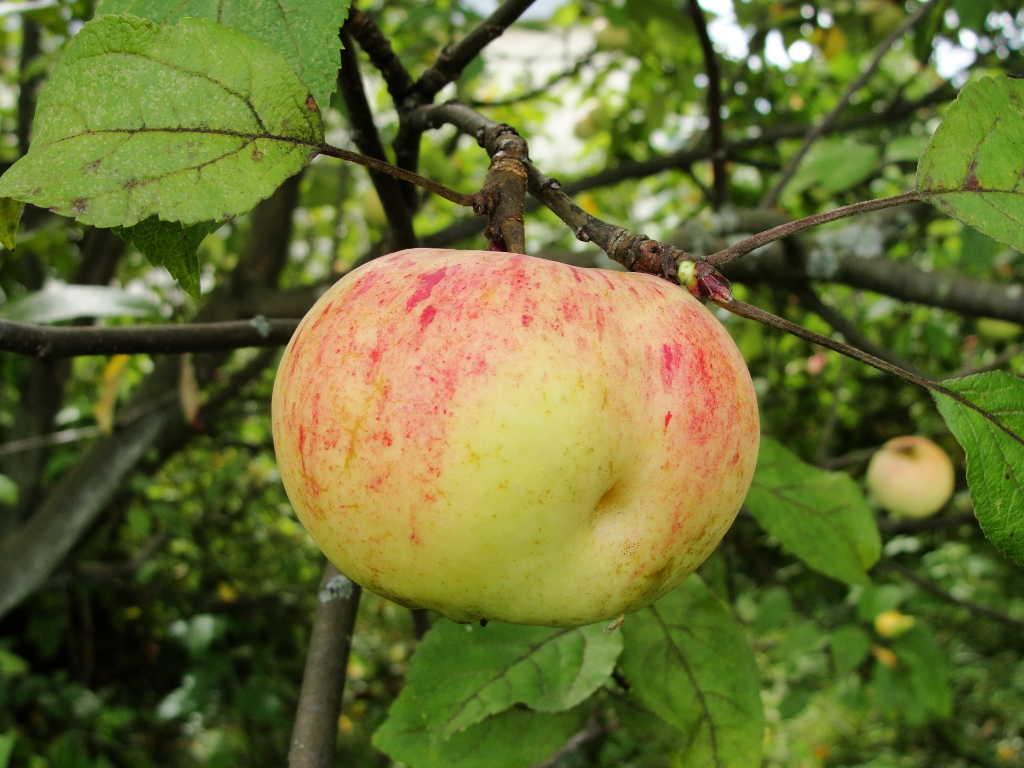 составом братии старые сорта яблонь фото с названием внимание