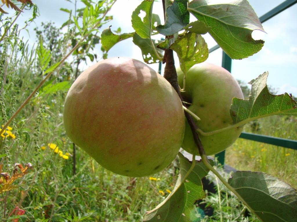 Осенние сорта яблонь с фотографиями для