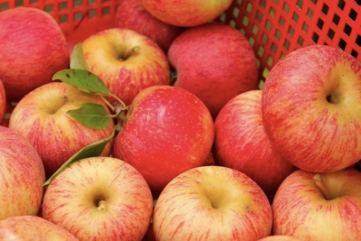 Описание популярных сортов яблонь, яблок