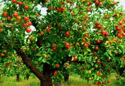 Яблоня «Беркутовское»: описание, посадка и уход, фото | 277x400