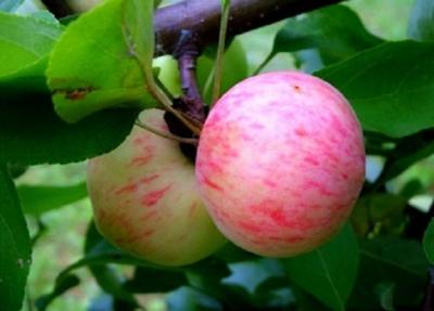 Сорт яблок – Грушовка. Подробная характеристика и фото плодов, а также практические рекомендации садоводам