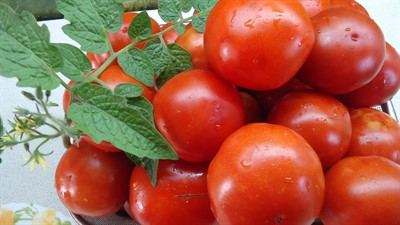 Семена томатов для переработки