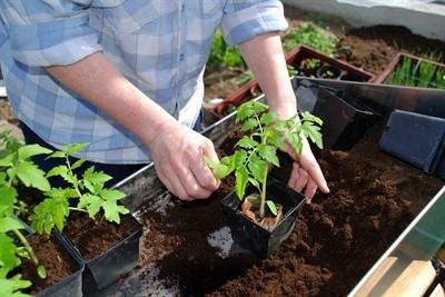 Чем так хорош китайский способ выращивания рассады томатов?