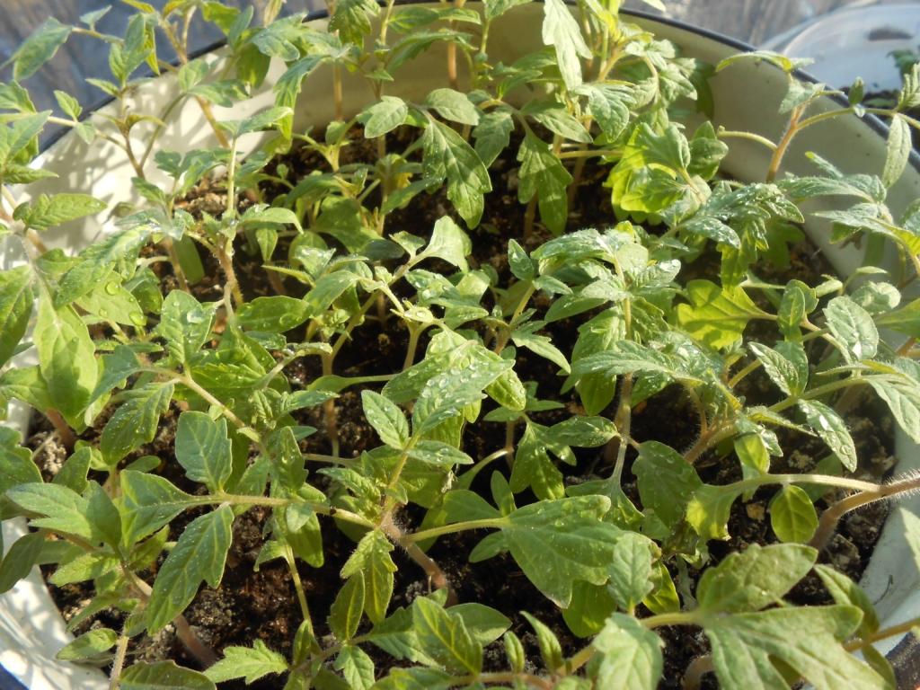 Не знаете, почему желтеет рассада помидор? Из-за чего она вытягивается и падает или не растет и вянет? Разберемся вместе!