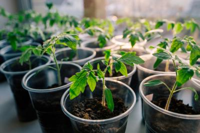 сроки посадки ранних томатов на рассаду