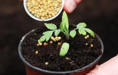 подробная инструкция по выращиванию рассады томатов в домашних условиях