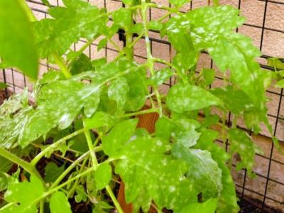 Как бороться с септориозом томатов? Причины и признаки болезни