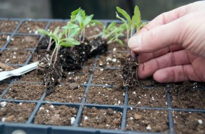 """Почему возникает """"черная ножка"""" на рассаде помидоров? Чем полить и как спасти растения?"""