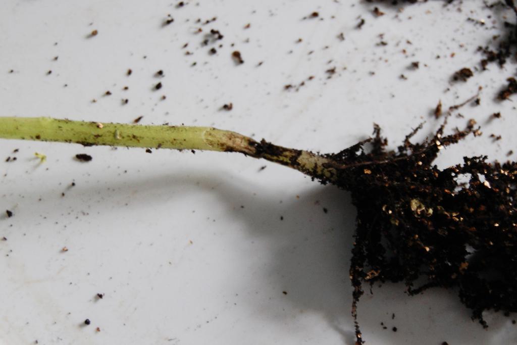 Черная ножка на рассаде: как бороться. Чем спасти рассаду