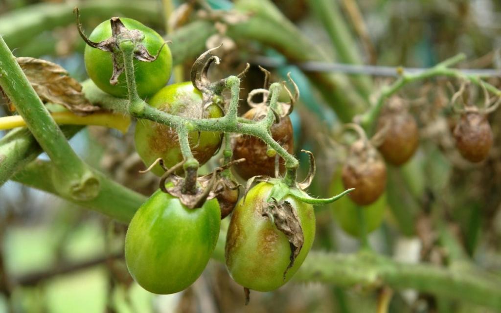 Спасаем помидоры от фитофторы народные средства которые помогут эффективно побороть заболевание