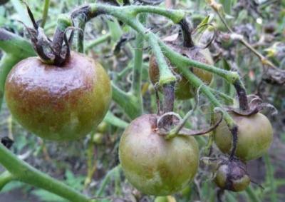 Как предупредить появление фитофторы на помидорах в теплице? Мероприятия по профилактике недуга