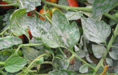 5 эффективных способов лечения мучнистой росы на помидорах. Профилактика заболевания