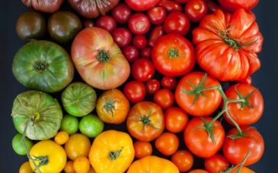 Устойчивые к фитофторе сорта томатов для теплиц - Вельможа, Интуиция и другие. Характеристика, описание и фото
