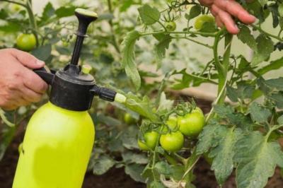 Как развести и использовать трихопол для обработки помидоров от фитофторы? Механизм действия