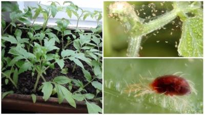 Ржавчинный клещ на томатах